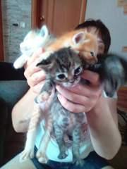 Милые трёхцветные котята