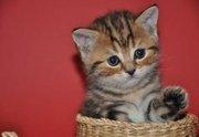 Куплю котенка