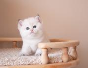 британские золотые котята