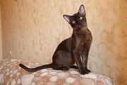 Бурманская кошка (котята)
